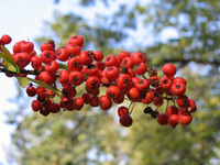 Hawthorn is one of the best herbs for the heart.