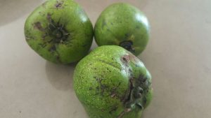black-sapote-green
